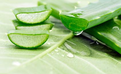 angeschnittenes Blatt der Aloe Vera